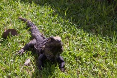 Iguana, Tulum